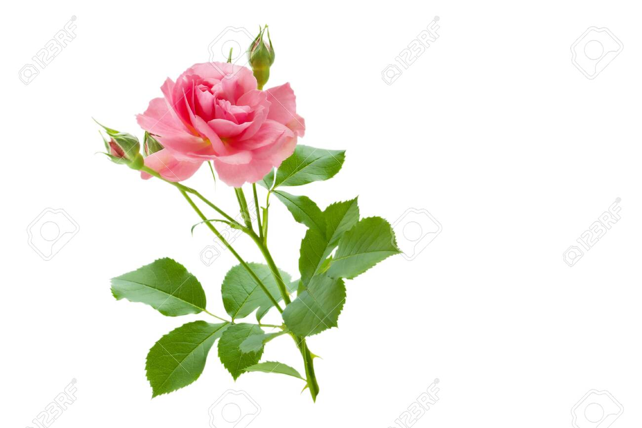 Pink rose flower with buds and green leaves isolated on white background - 135476495