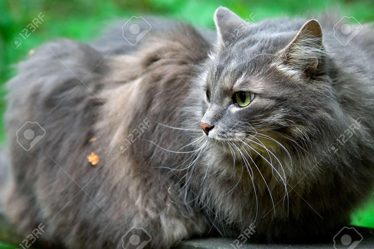 Boulderkit of ThunderClan 1490738-big-fluffy-grey-cat-very-closely-looks-around-friendly-but-very-independent-animal