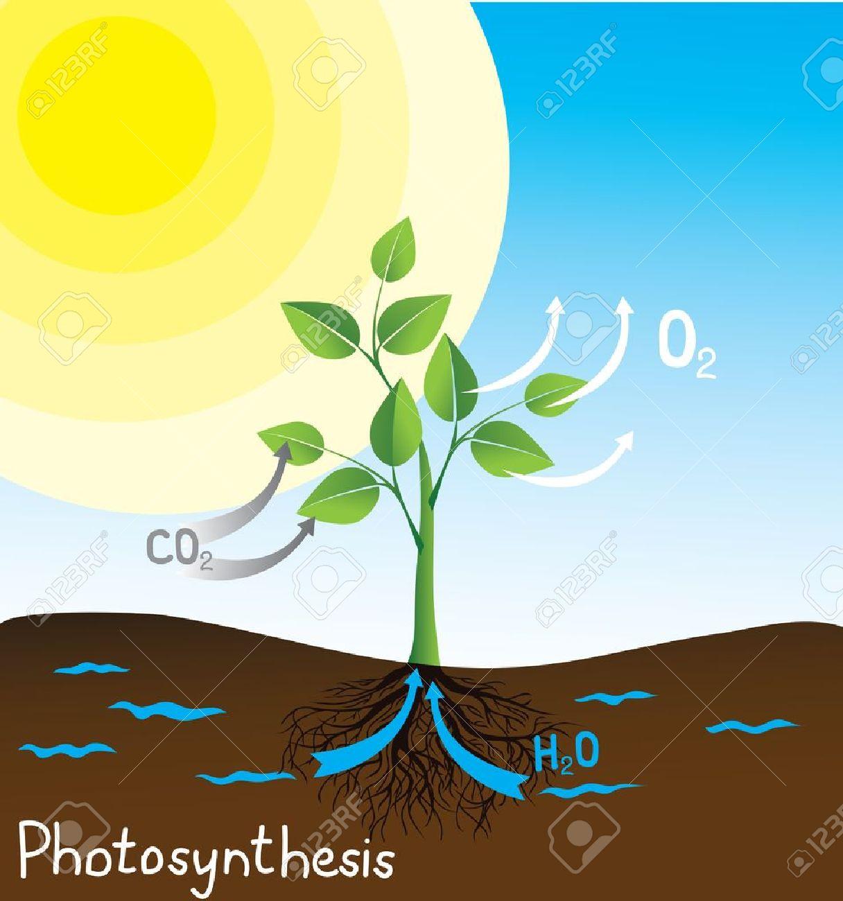 Photosynthese Vektor-Bild, Einfaches Schema Für Studenten Lizenzfrei ...