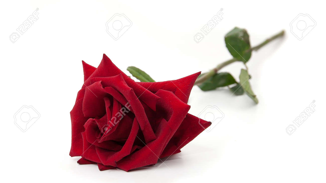 beautiful red rose on a white background - 155611453