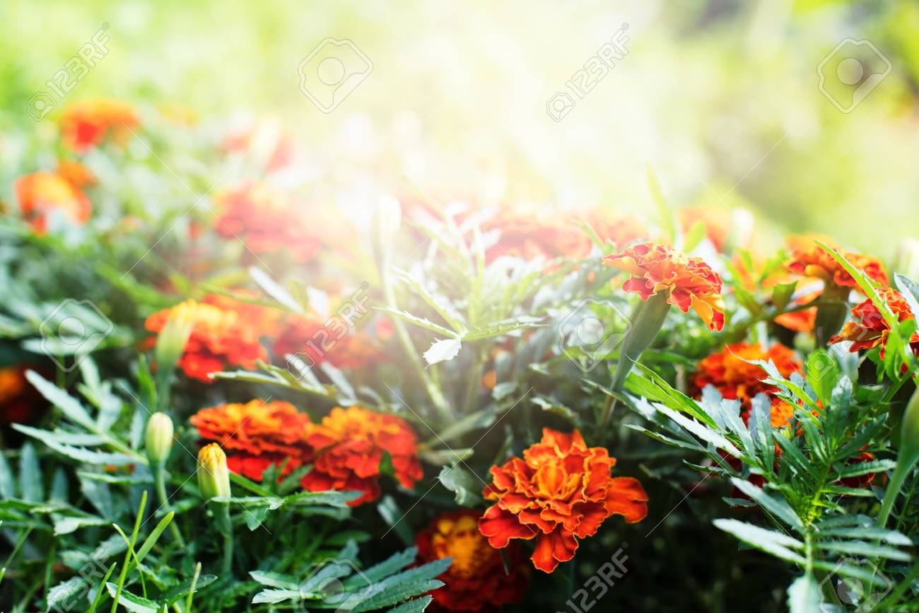 Beautiful Marigolds Flowers Garden With Light Effect Other Names