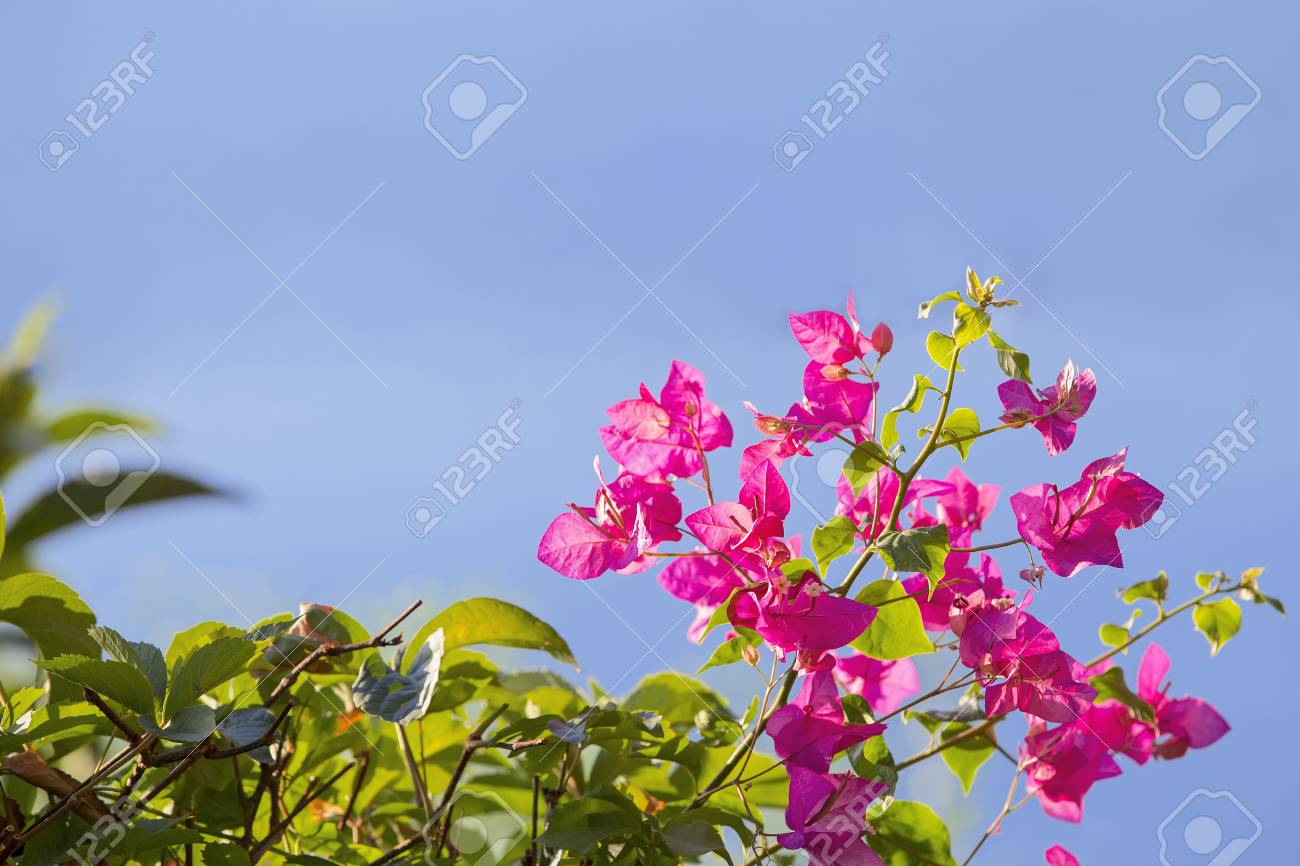 Branch Of Blooming Bougainvillea Isolated On A Blue Background ...