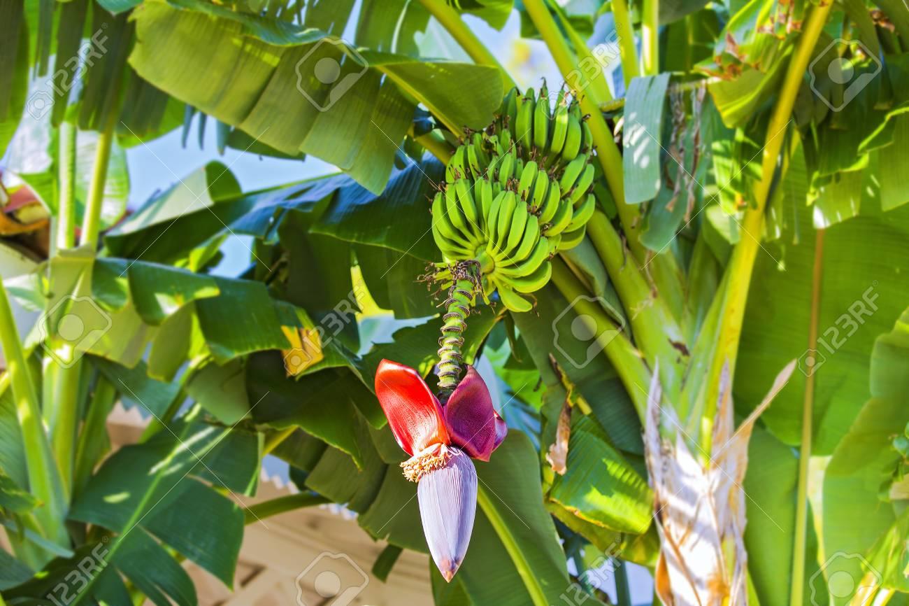 Banana Flower And Bunch Of Bananas Red Banana Blossom On A Banana