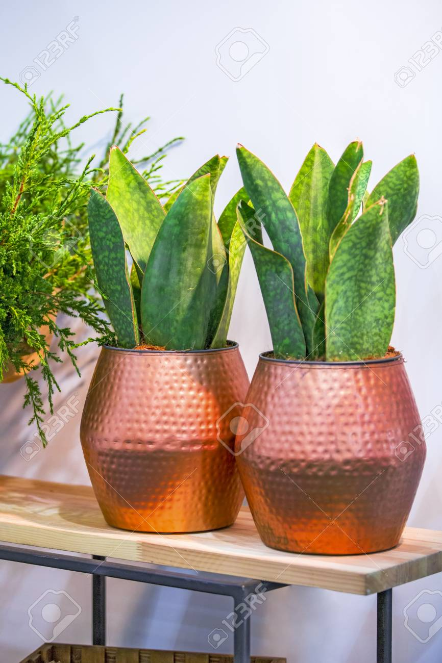 Big green plant in a beautiful copper flower pot on a white background design & Big Green Plant In A Beautiful Copper Flower Pot On A White.. Stock ...