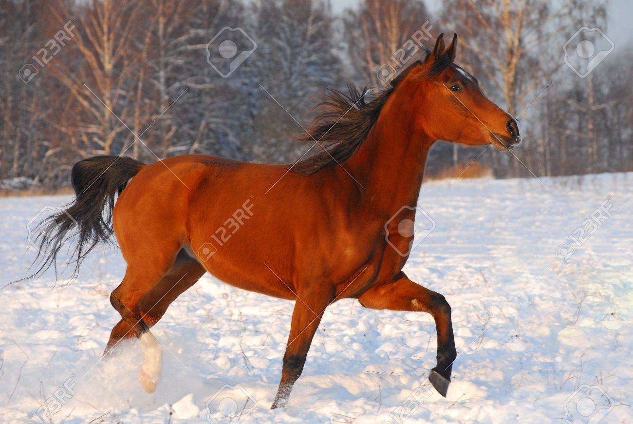 Proud Red Arabian Horse On A Snow Covered Field In Sunset Light Stock Photo Picture And Royalty Free Image Image 8984242