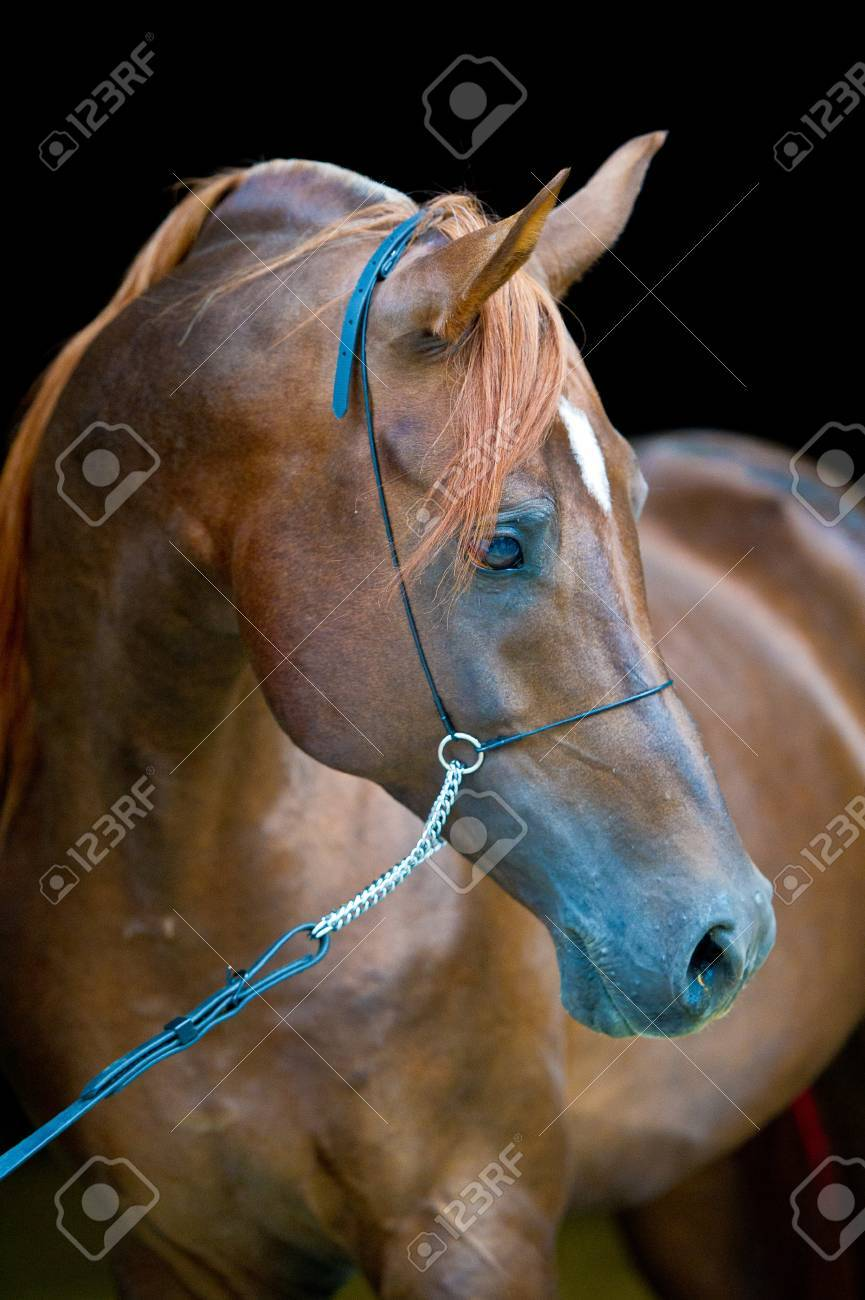 Red Arabian Horse Portrait On Black Stock Photo Picture And Royalty Free Image Image 18821587