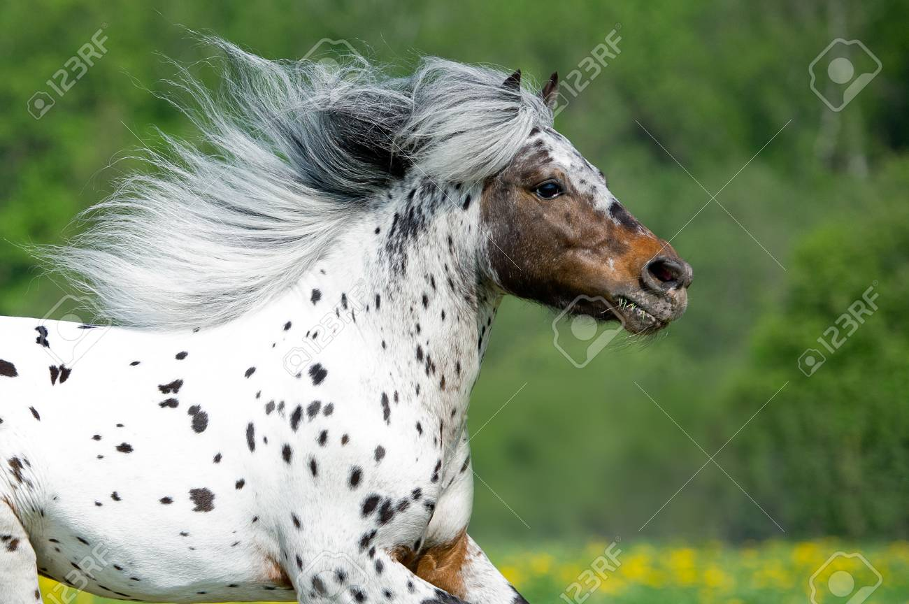 appaloosa horse runing on the meadow in summer time close up stock