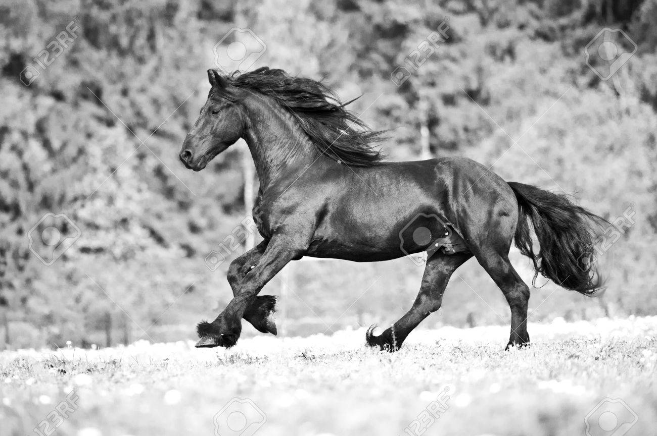 Free Friesian Horse Runs Free Black And White Stock Photo Picture And Royalty Free Image Image 69419263