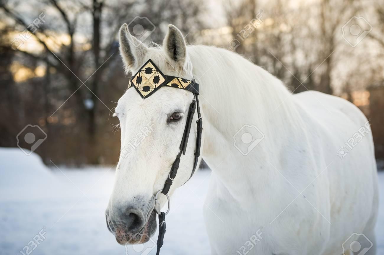 Cheval de trotteur blanc dans le front mé