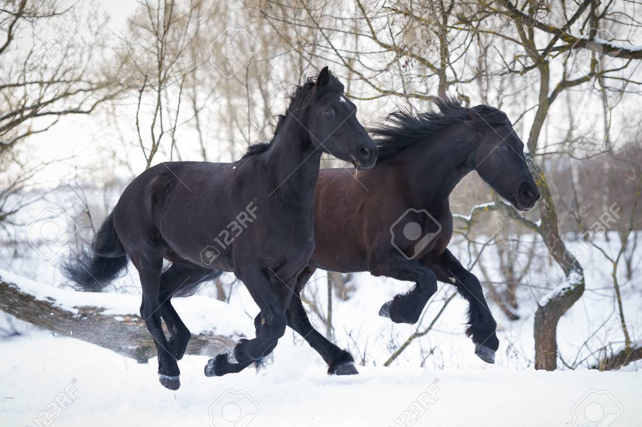 Black Horses Running Gallop In Winter Forest Stock Photo Picture And Royalty Free Image Image 87944880