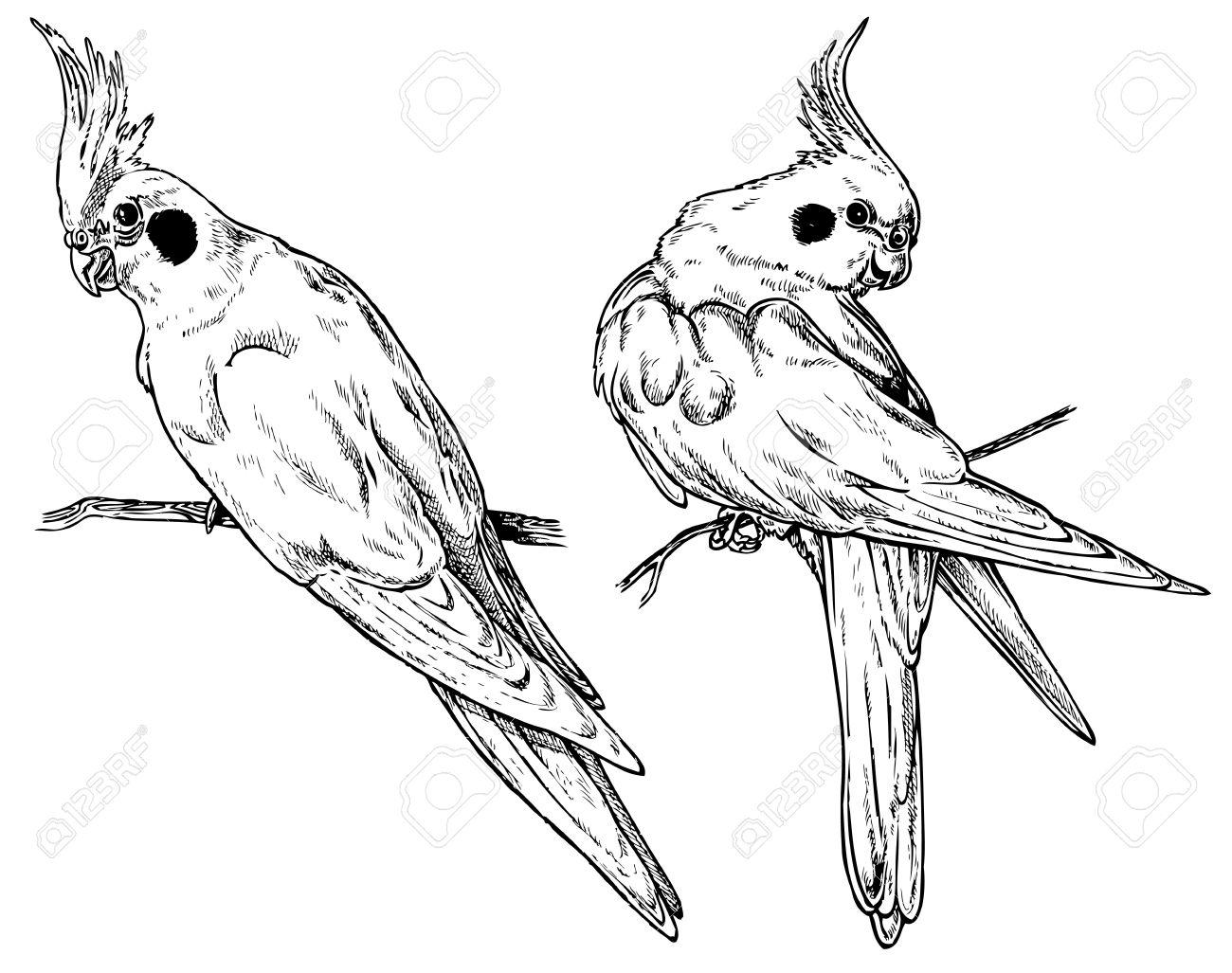 Cute parrot drawing