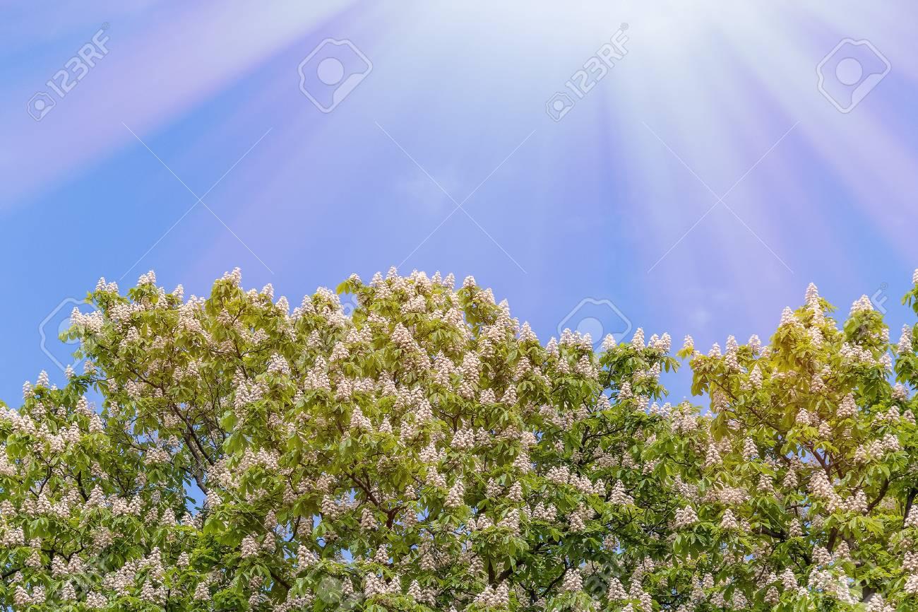 Flowering trees of horse chestnut against a background of bright flowering trees of horse chestnut against a background of bright blue sky in the spring stock izmirmasajfo