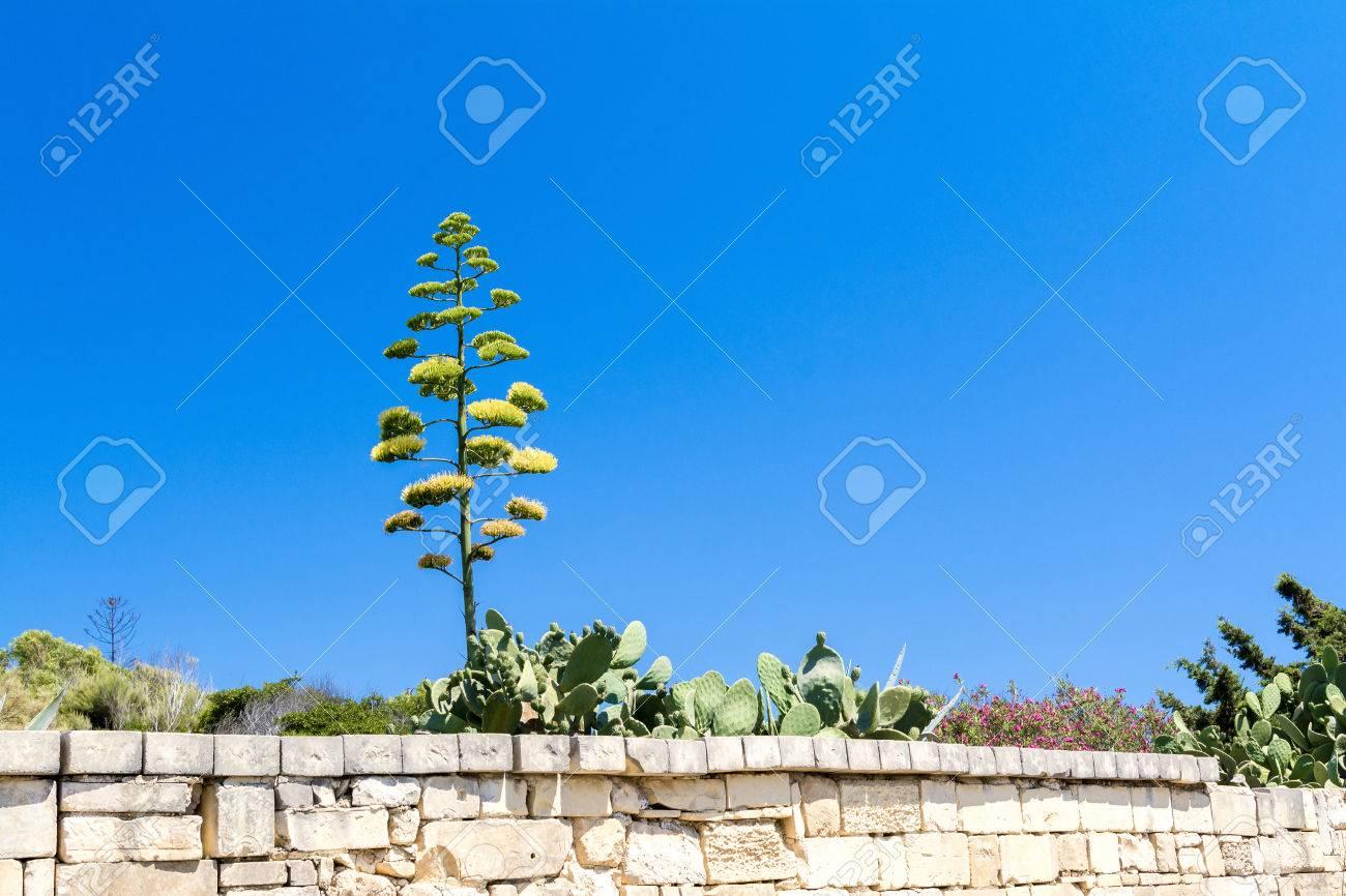 Fleur D Agave A Malte Banque D Images Et Photos Libres De Droits