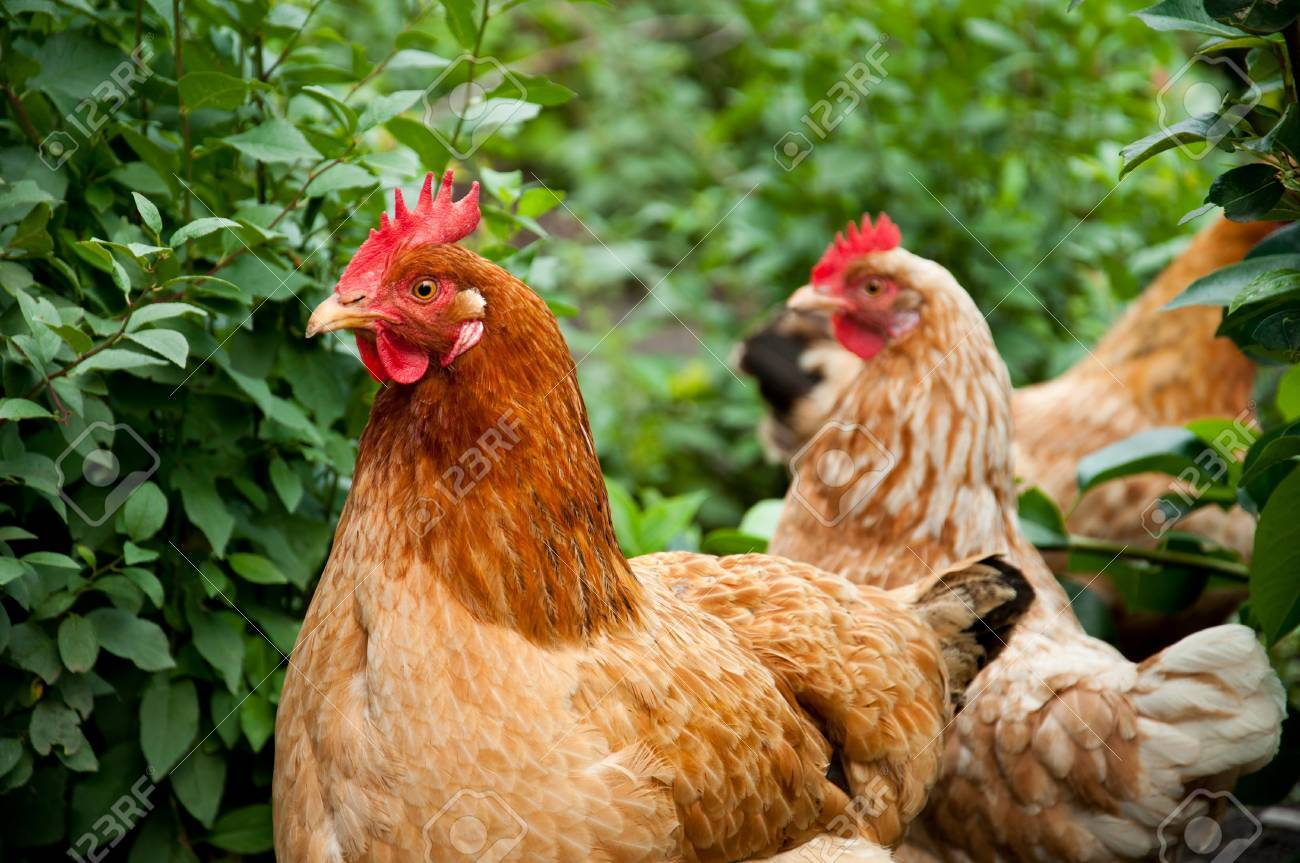 Poultry in the poultry yard - 9993018