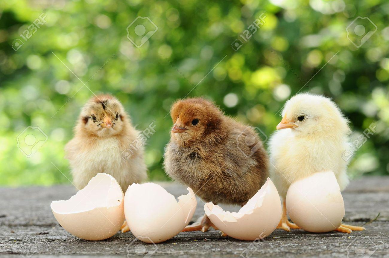 Small chicks and egg shells - 15091457