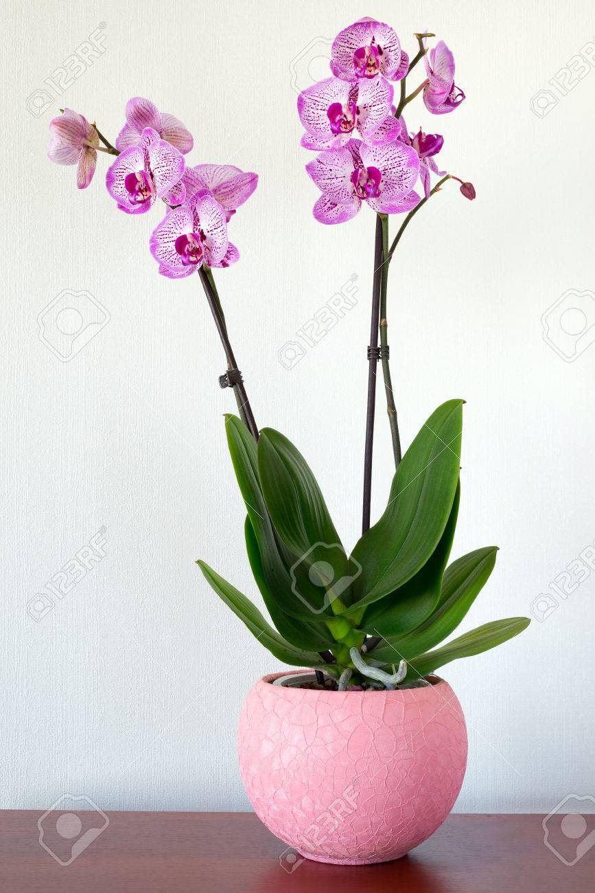 Indoor pink orchid flower in the Interior - 37560052