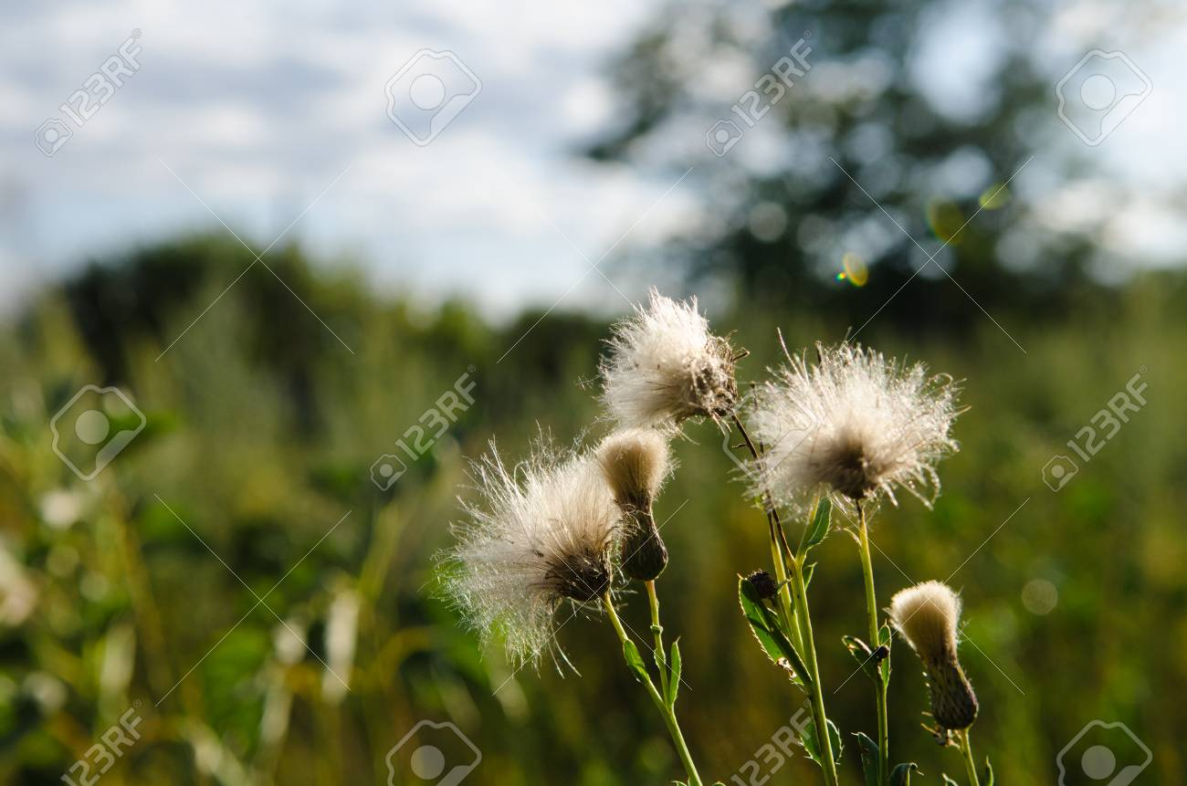 Photography Of Fluffy Creeping Thistle Like Blowball In Field