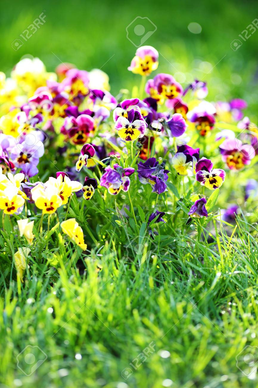 Field pansy mix flowers in spring grass stock photo picture and field pansy mix flowers in spring grass stock photo 28391943 mightylinksfo