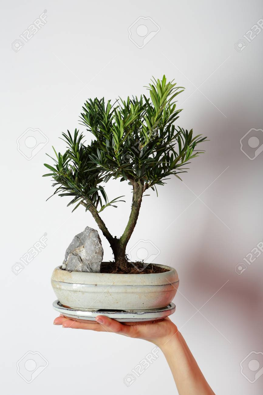 Green Bonsai Mini Tree In The Hand The Japanese Art Stock Photo Picture And Royalty Free Image Image 72711974