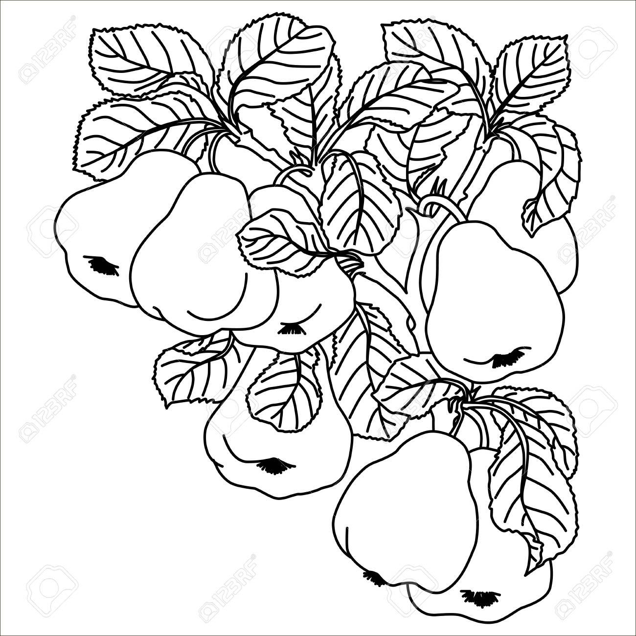 Peras Aisladas Fruta Dulce Vector Grabado Ilustración Vintage