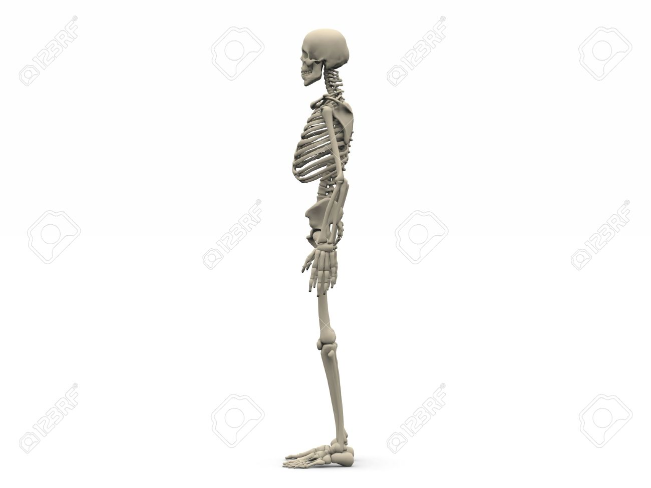 Digital Render Of A Human Skeleton In Side View Stock Photo Picture