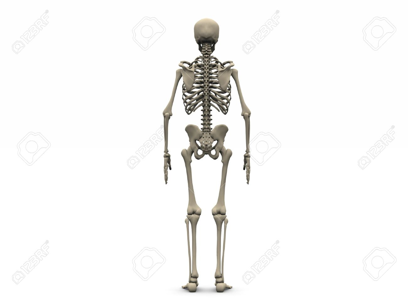 Digital Render Of A Human Skeleton In Back View Stock Photo Picture
