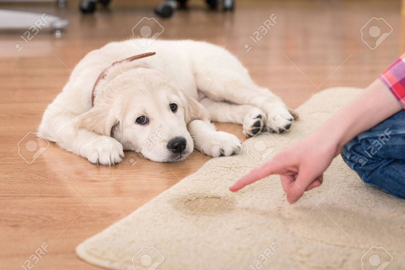 Golden retriever puppy looking guilty from his punishment - 53061385