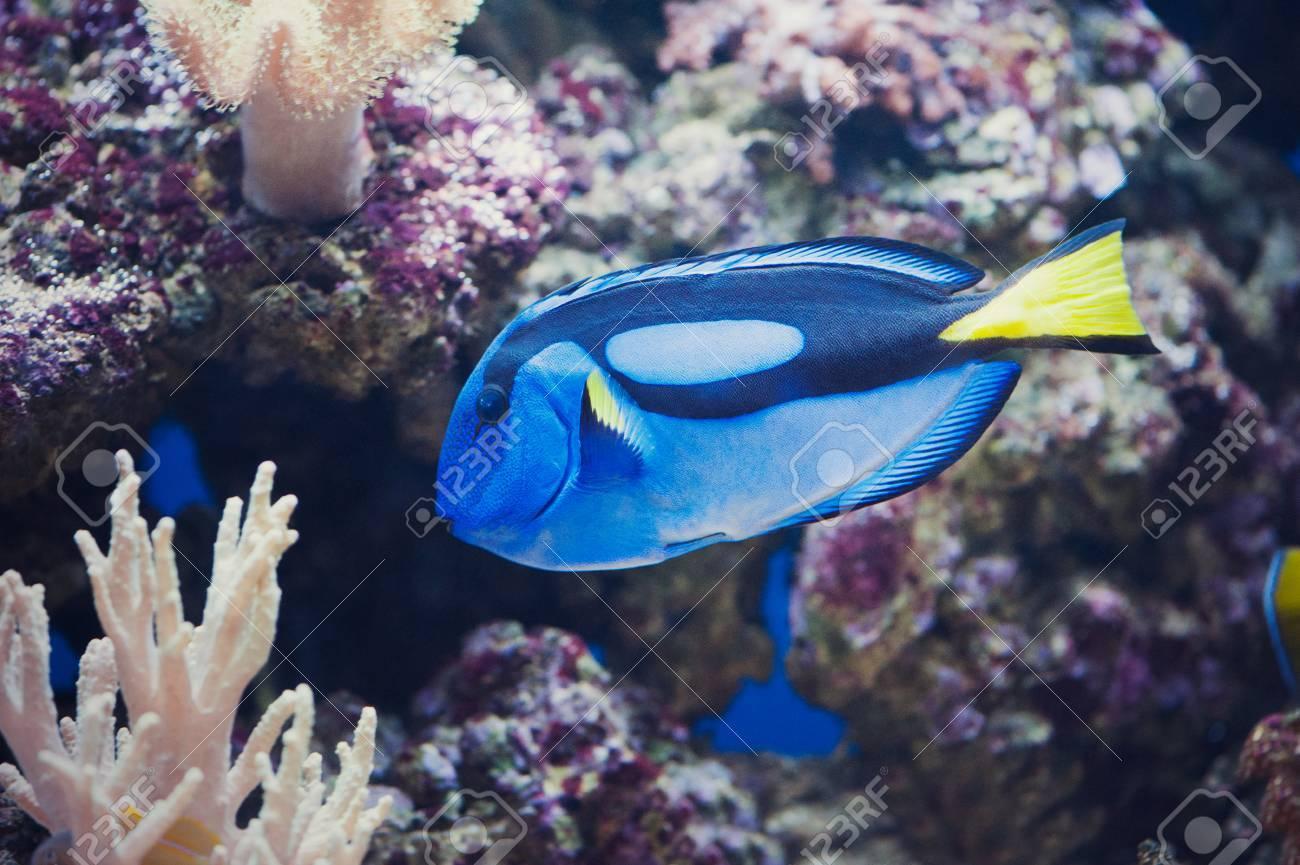 Full Side View of Blue Regal Tang - Paracanthurus Hepatus Stock Photo - 27118371