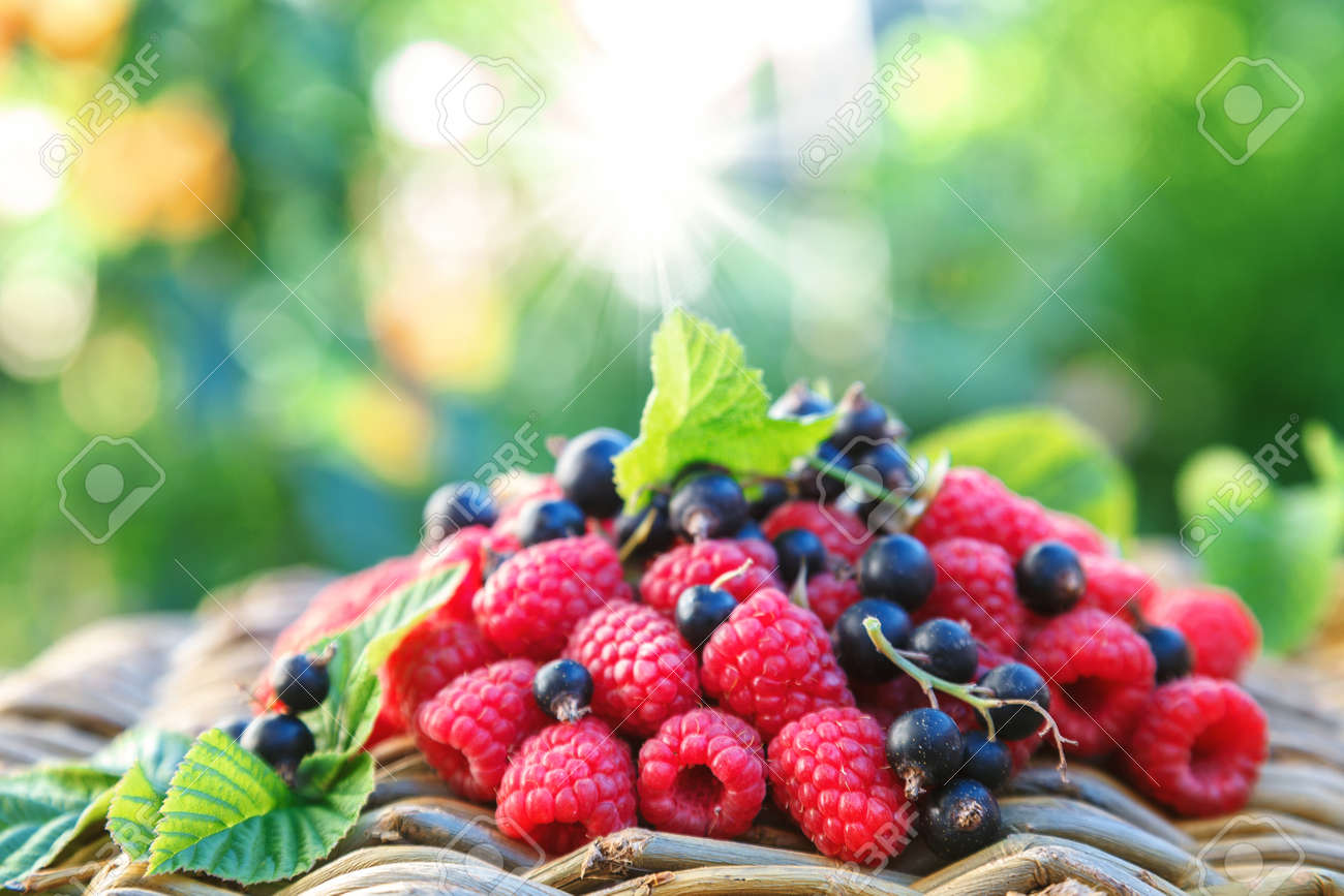 Fresh raspberries and currants in the garden on a sunny day. - 157708304