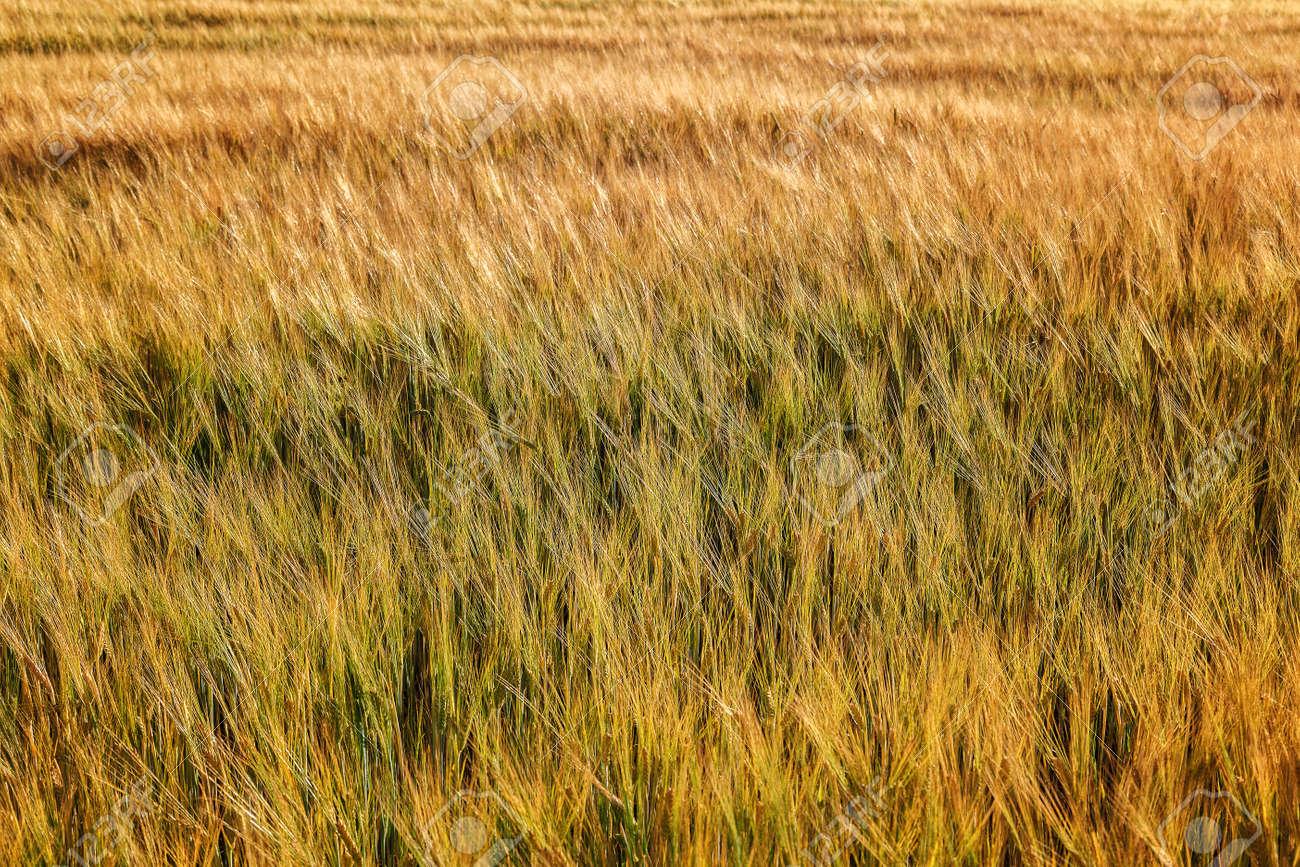 Ripe ears of wheat field as background. - 157708305