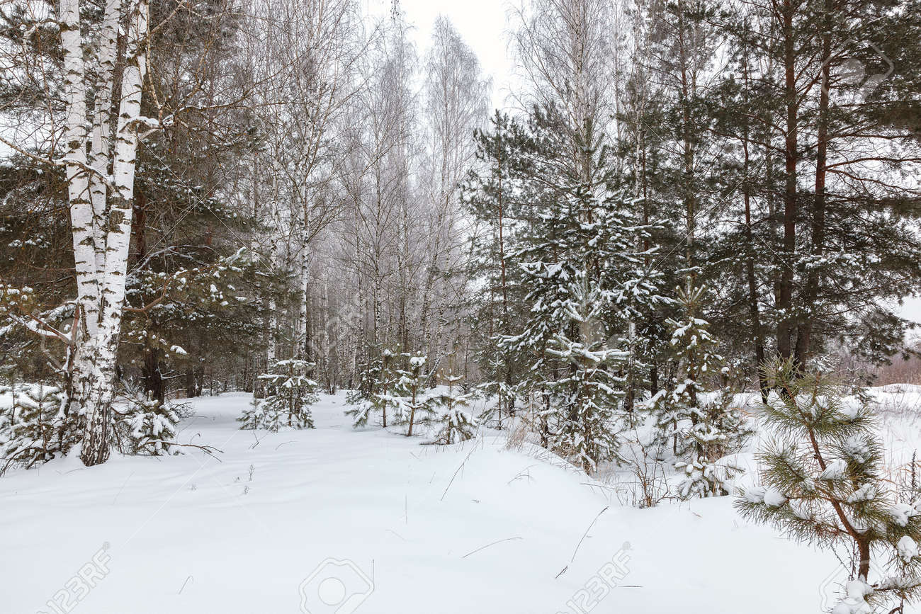 Winter pine forest under white snow. Landscape. - 157708332