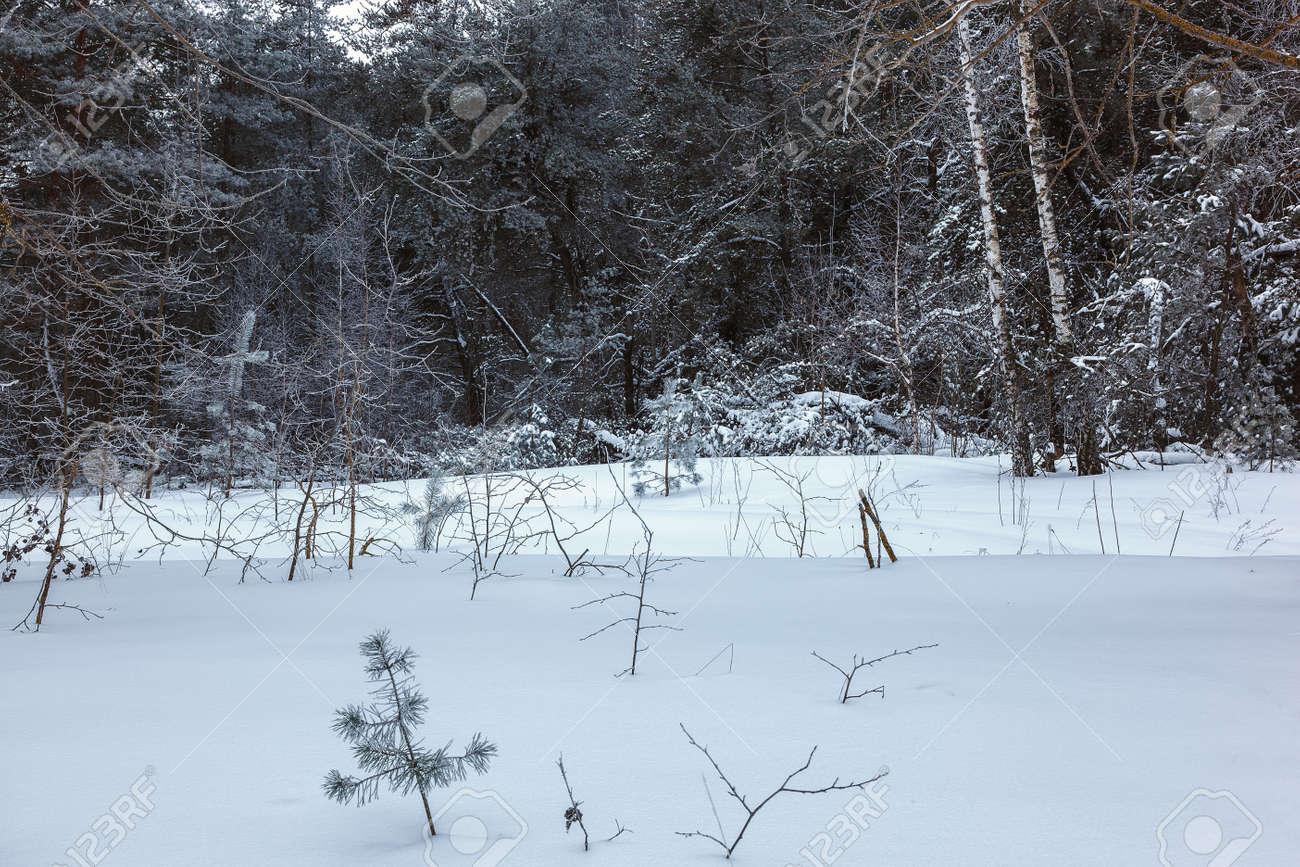 Winter pine forest under white snow. Landscape. - 157708607