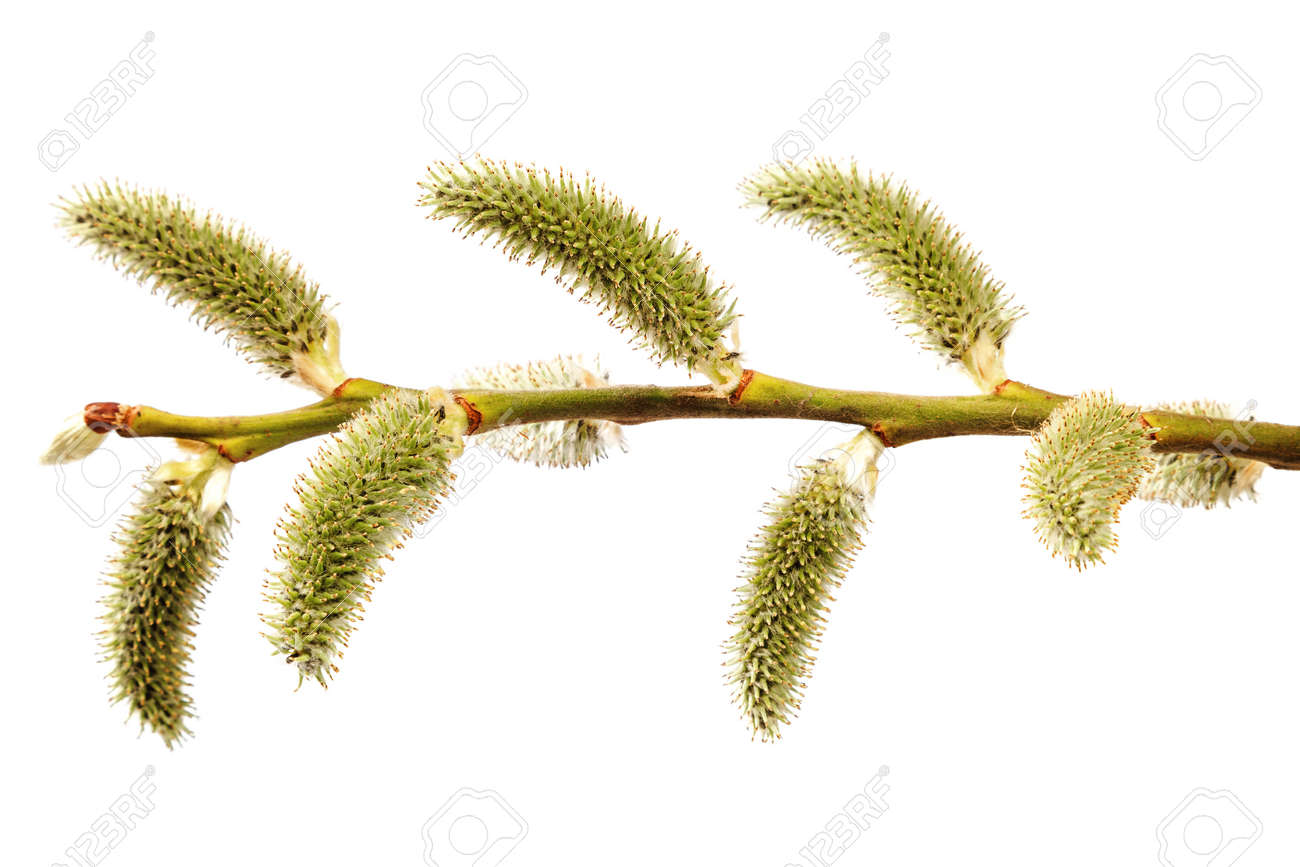 A branch of a blossoming willow isolated on a white background. - 156194031