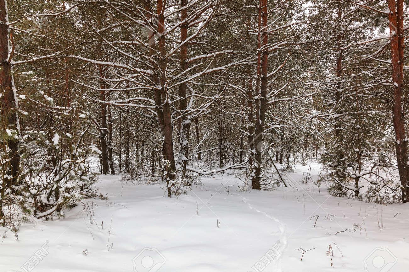 Winter pine forest under white snow. Landscape. - 154785885