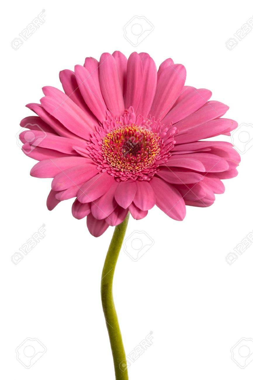 pink gerber Stock Photo - 5192963