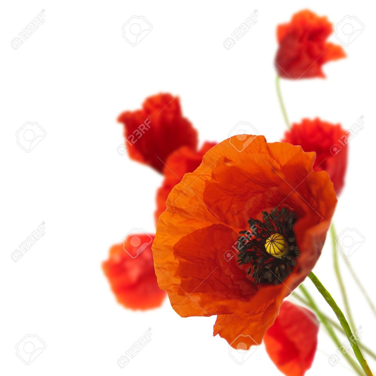 red poppies isolated on a white background in the corner of a page - Floral border Stock Photo - 5393368