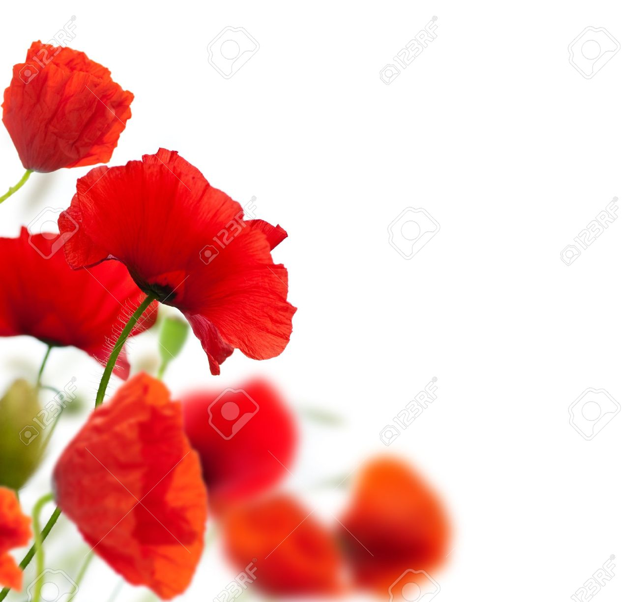 summer scene many red poppies isolated over a white background