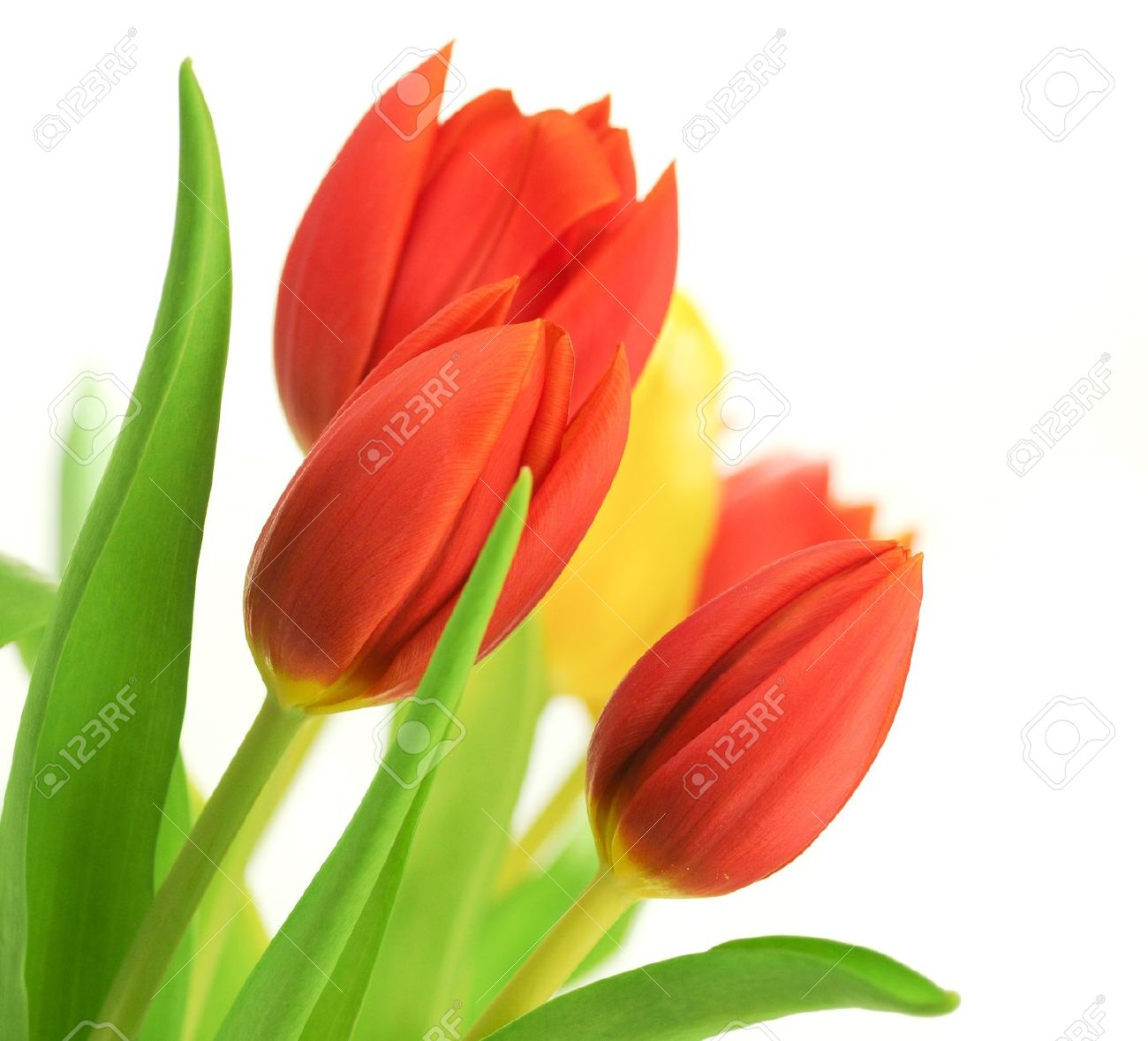 Border of red tulips over a white background and one yellow tulip, with leaves, flowers are placed in the angle of the image Stock Photo - 9250534