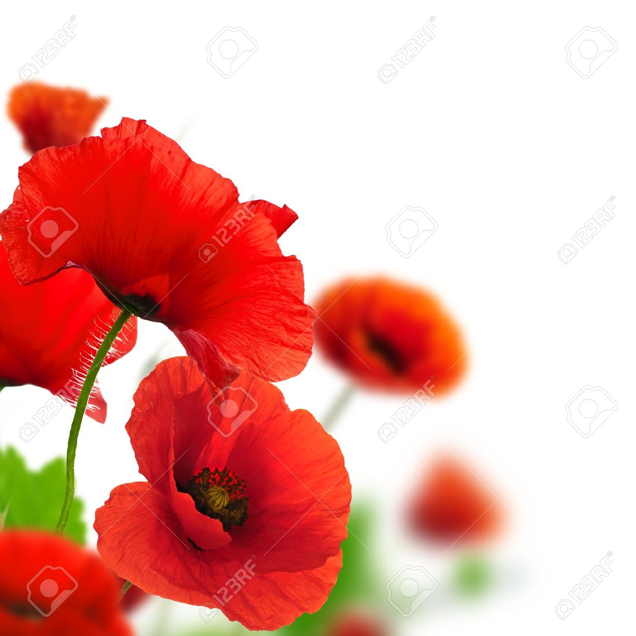Red poppies over a white background border floral design for red poppies over a white background border floral design for an angle of page mightylinksfo Choice Image