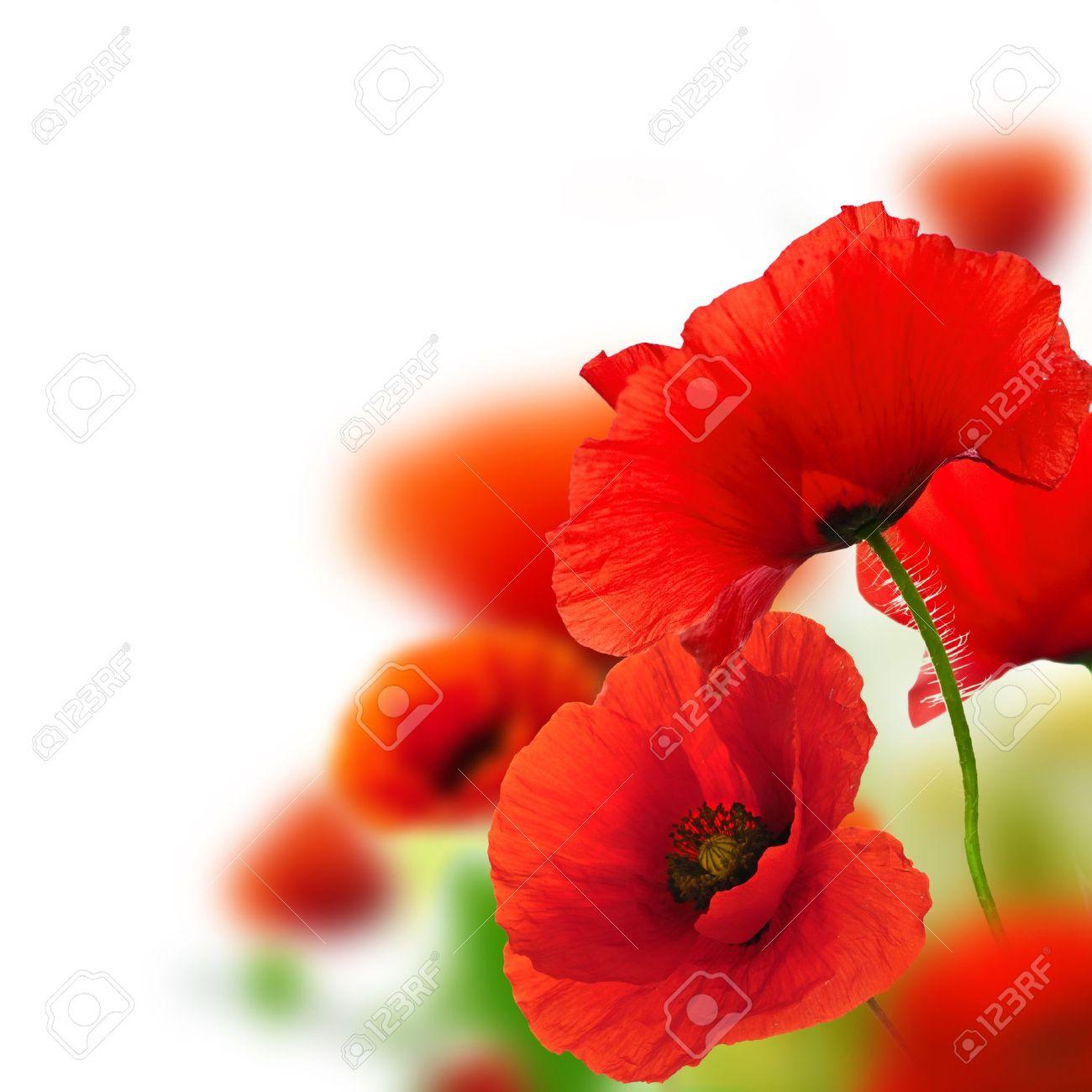 Amapolas Fondo Blanco, De Diseño Floral Verde Y Rojo, Marco Fotos ...