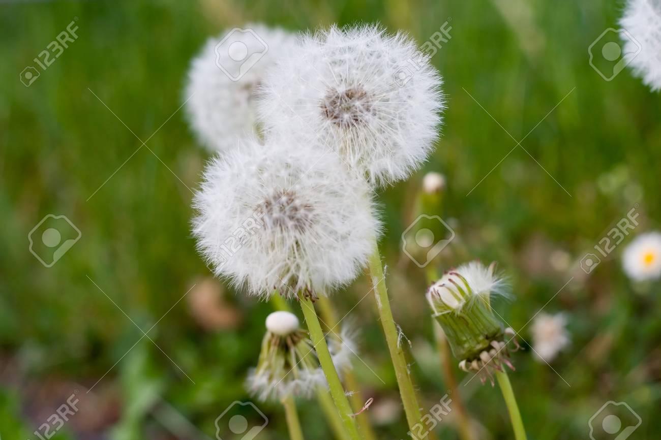 beautiful dandelions against fresh, green grass Stock Photo - 914224