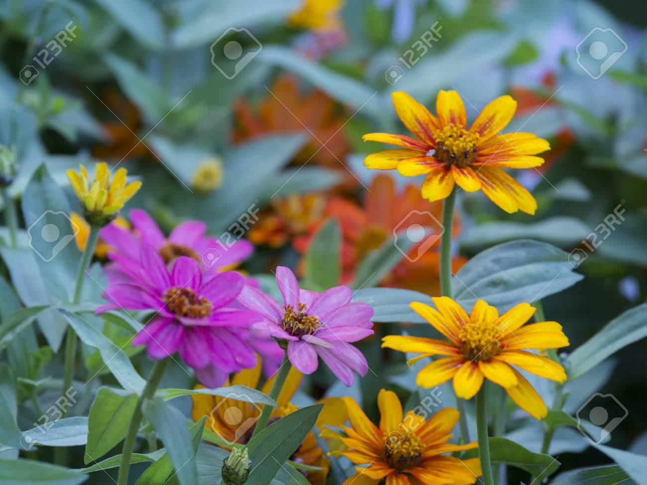 Yellow And Purple Flowers Dimorphoteca Asteraceae Family Stock