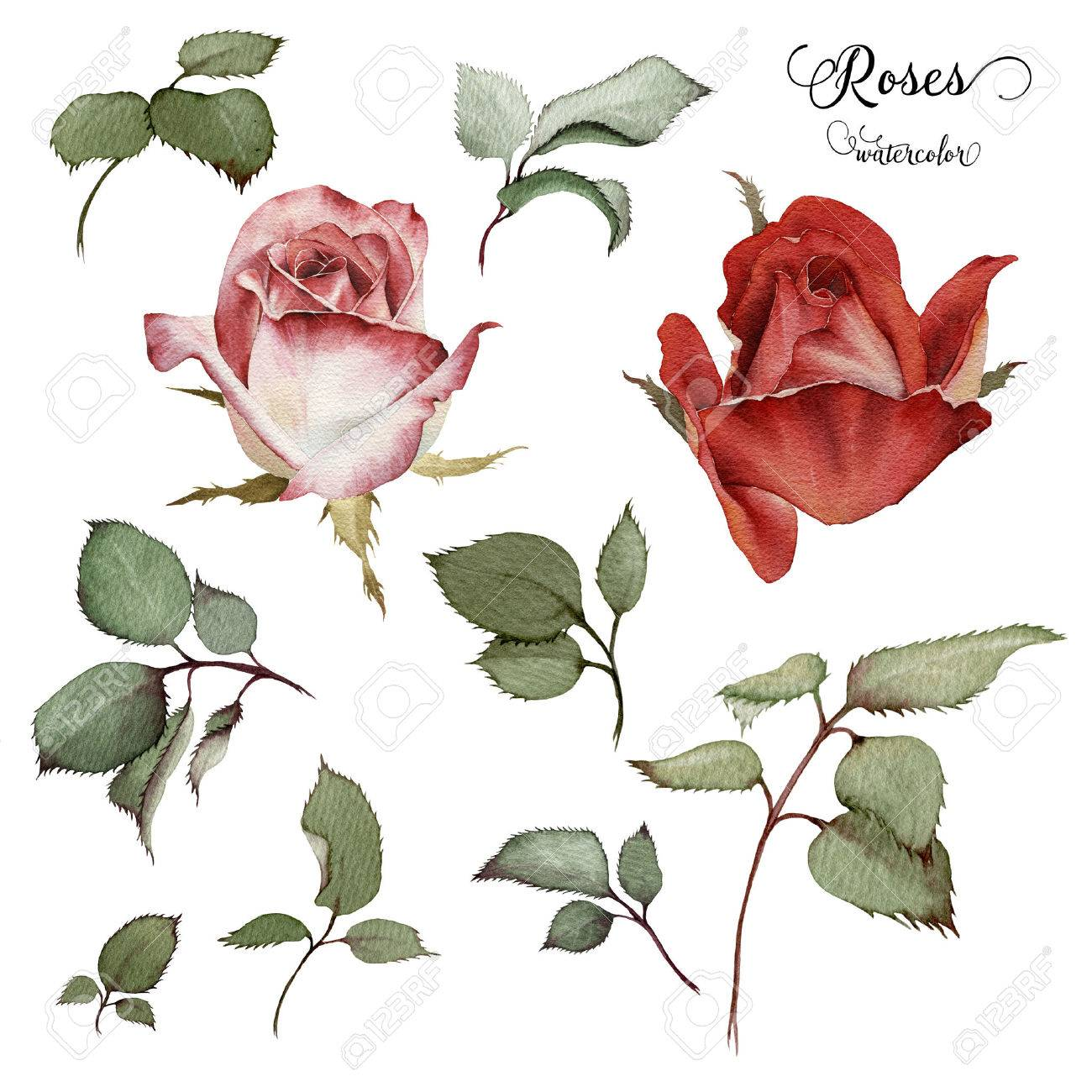 rose flower images u0026 stock pictures royalty free rose flower