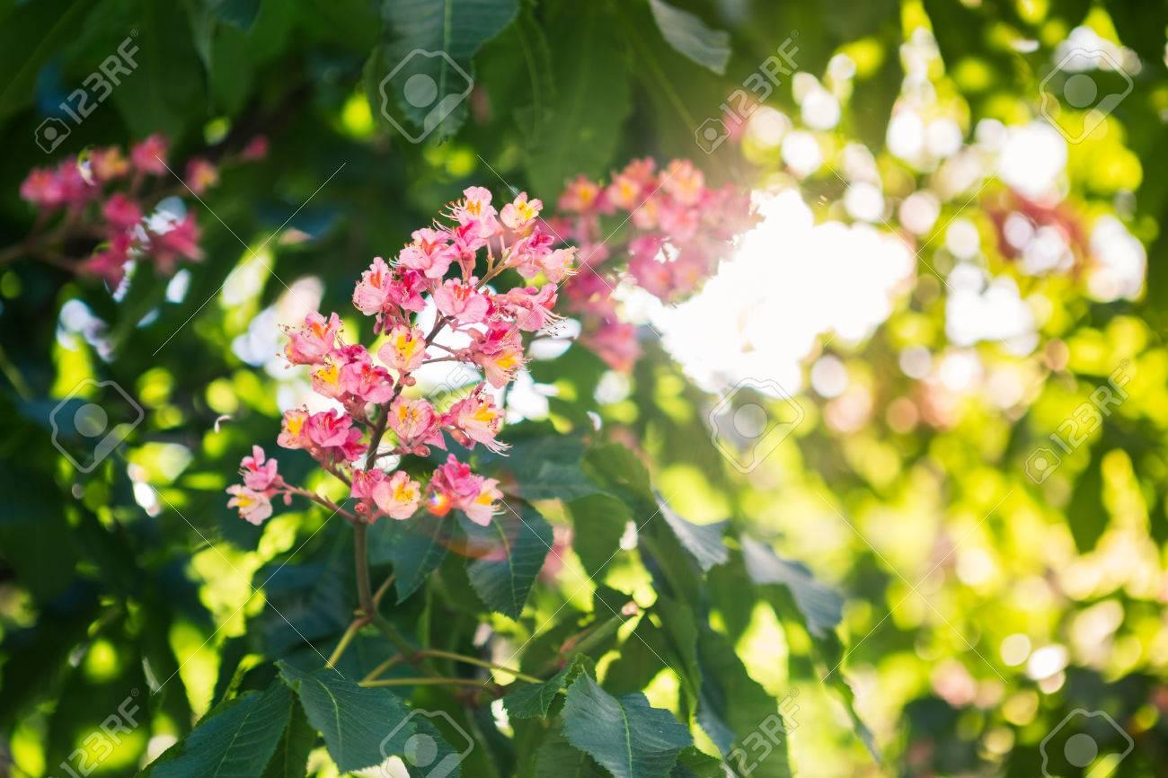 Pink flower of chestnut tree stock photo picture and royalty free pink flower of chestnut tree stock photo 40534935 mightylinksfo Gallery