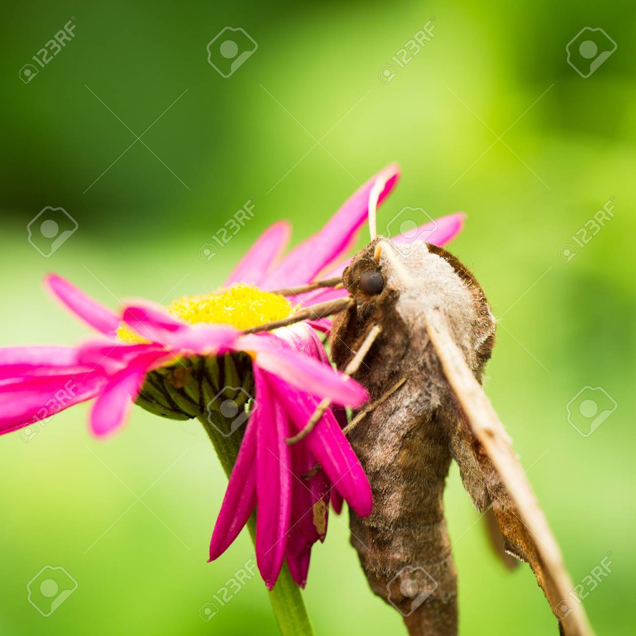 Giant Peacock Moth On A Pink Flower Stock Photo Picture And Royalty