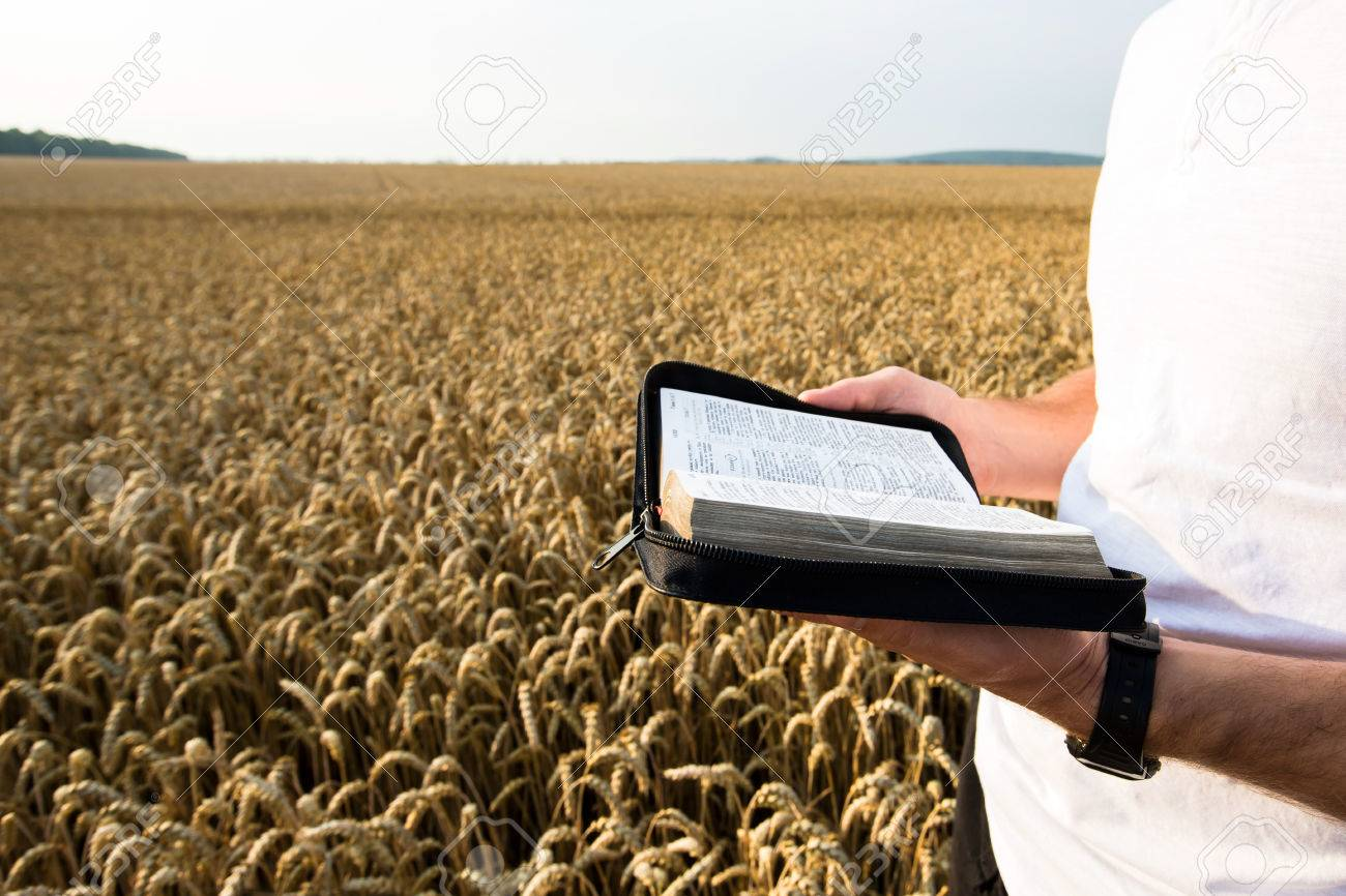 Man holding open Bible in a wheat field - 43195795