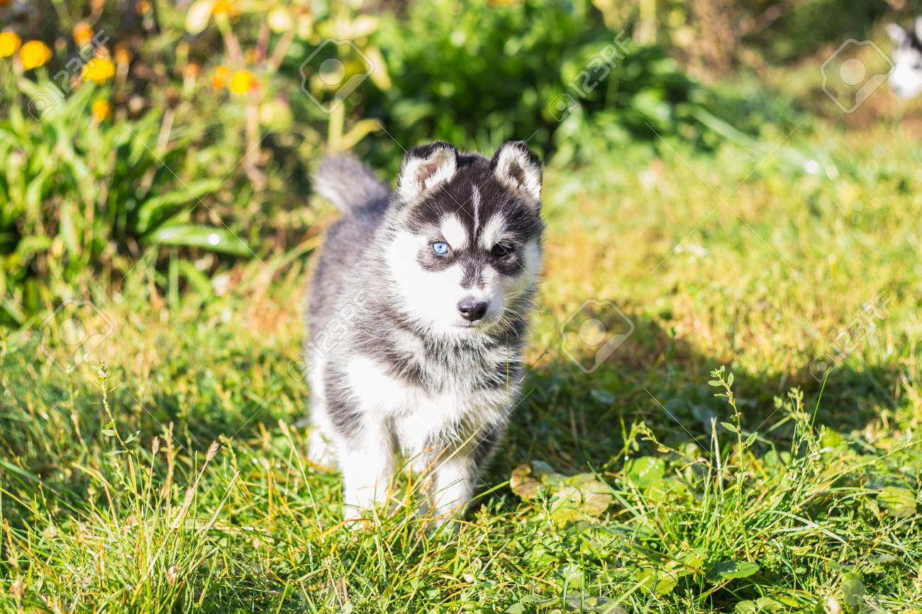 Siberian Husky Puppies Stock Photo Picture And Royalty Free Image Image 114528957