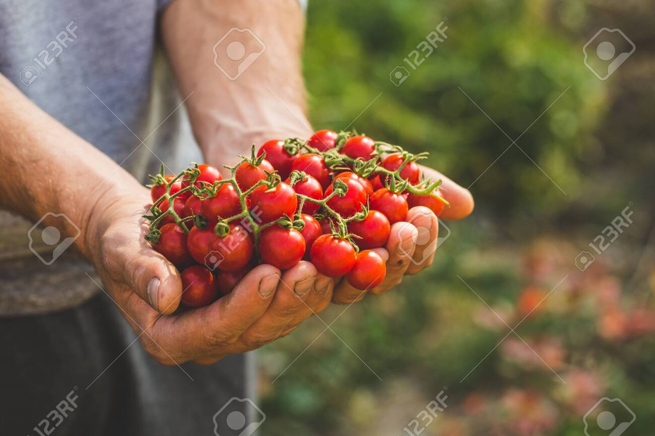 Farmers holding fresh tomatoes. Healthy organic foods - 131992977