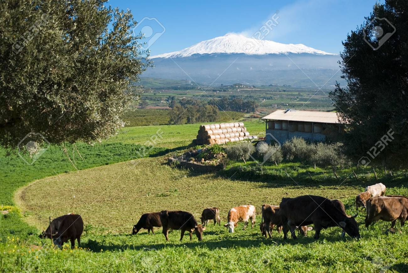 rural landscape with livestock and snowy volcano etna Stock Photo - 3914783