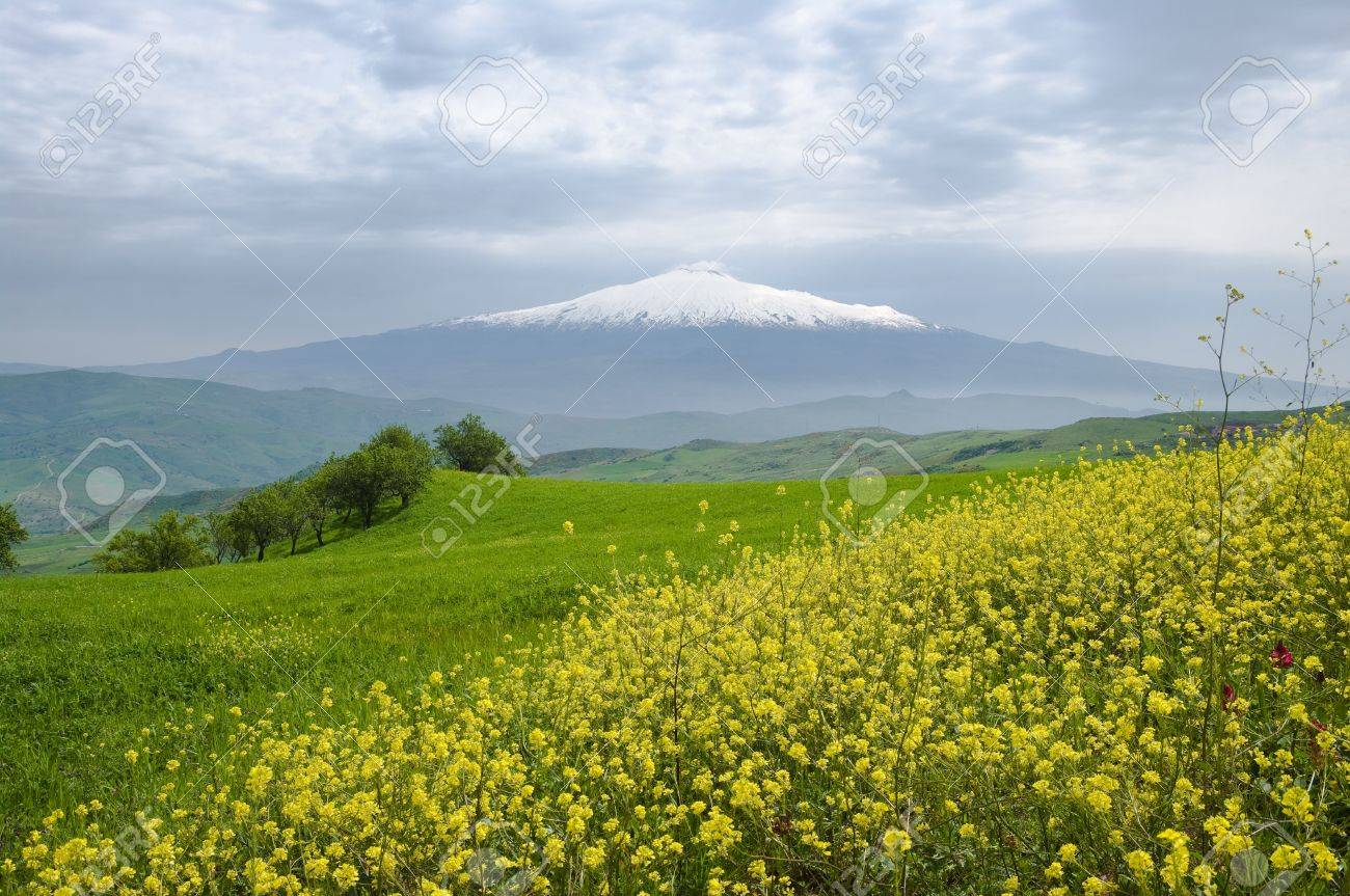 flowers of canola and grfeen grass on background volcano Etna covered by snow and overcast sky Stock Photo - 6451644